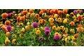 14 flori care sa iti decoreze gradina in culori de toamna
