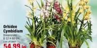 Orhidee Cymbidium