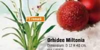 Orhidee Miltonia