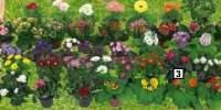 Trandafir/begonie/gerbera/azalee/calceolaria