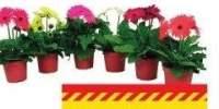 Gerbera mix 2 + Flori D 12 centimetri
