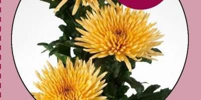 Buchet de crizanteme
