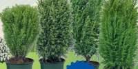 Mix conifere