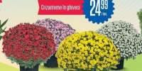Crizanteme in ghiveci