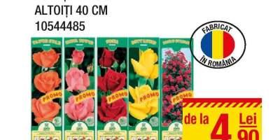 Butasi trandafiri altoiti 40 cm