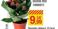 Kalanchoe double goodie red
