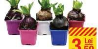 Hyacinthus (bol) 1 PP