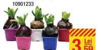 Hyacinthus (bol)