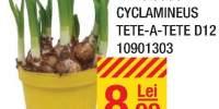Narcissus cyclamineus tete-a-tete D12