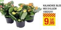 Kalanchoe bloss mix