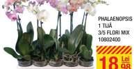Phalaenopsis 1 tija