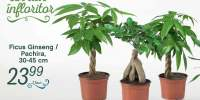 Ficus Ginseng/Pachira