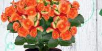 Begonia 30 centimetri