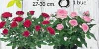 Trandafiri in ghiveci 27-30 centimetri