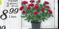 Trandafir in ghiveci