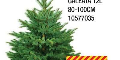 Molid argintiu Picea Pungens, la galeata
