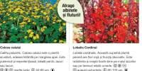 Flori atrag albinele si fluturii Calcea calului/ Lobelia Cardinal