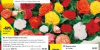 Begonii batute cu flori mari