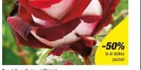Trandafir cu flori mari Osiria