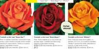 3 trandafiri cu flori mari