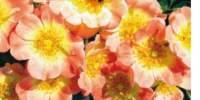 Trandafir Bijenweelde Apricot