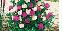 Trandafiri cascada Mystery Plate