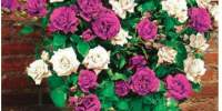 Trandafir bicolor catarator Mystery Wonder