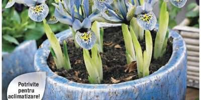 Iris pitic Katharine Hodgkin