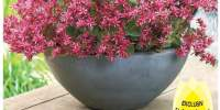 Flori Sedum Censation For Your Eyes Only