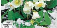 Trandafir de iarna