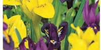 Mix Iris End of Winter