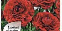 Floare Ranunculus