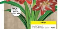 Floare crin Amaryllis Minerva