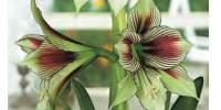 Floare crin Amaryllis Papilio
