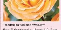 Trandafir cu flori mari Whisky